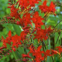 Crocosmia \'Lucifer\' (à grandes fleurs)