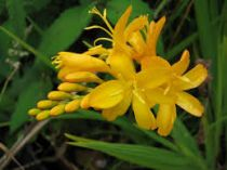 Crocosmia \'Paul\'s Best Yellow\'