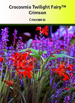 Crocosmia twilight fairly \' Crimson\'