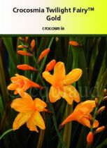 Crocosmia twilight fairly \'Gold\'