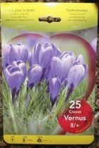 Crocus \'Vernus bleu\'