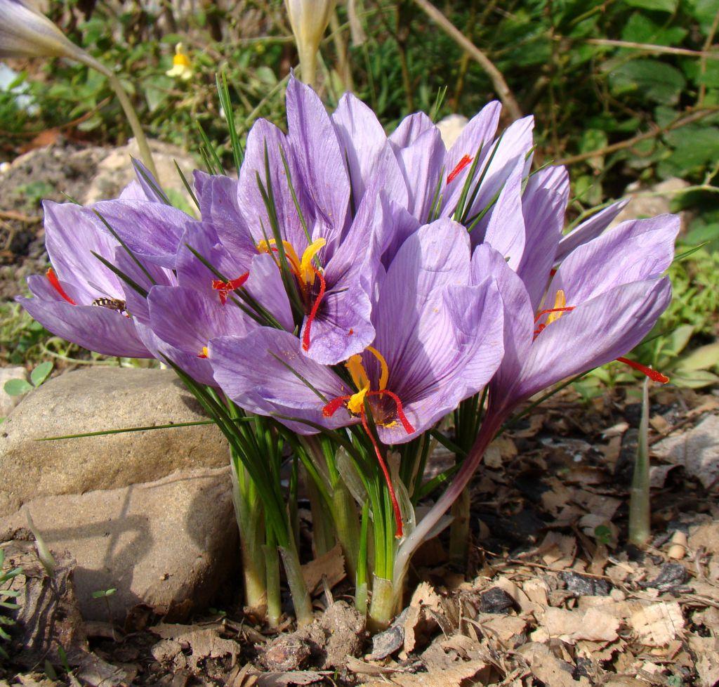 Crocus sativus - Safran