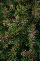 Cryptomeria japonica \'Vilmoriana\'