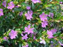 Cuphea hyssopifolia \'Lavender Pink\'