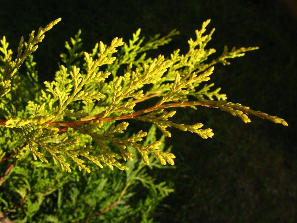 Cupressocyparis leylandii 2001