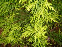 Cupressus macrocarpa \'Lutea\'