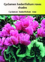 Cyclamen hederifolium \' Roses Shades \'