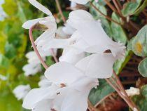 Cyclamen hederifolium \'Ivy Ice Pure White\'