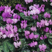 Cyclamen hederifolium purple