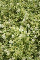 Cymbalaria \' Snow Wave \', plante vivace tapissante à feuillage panaché vert et blanc et à fleurs blanches en été, à mi-ombre.