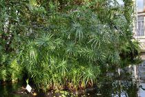 Cyperus* alternifolius