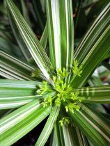 Cyperus* diffusus variegatus