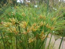 Cyperus* papyrus - Papyrus du Nil