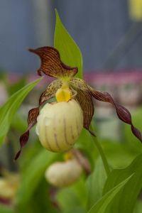 Orchidée rustique aux fleurs vert pourpre et blanc au printemps de 50 à 70 cm de hauteur.