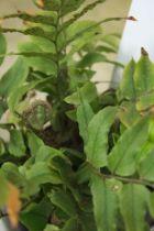 Cyrtomium fortunei \' Clivicola \'