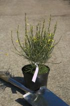 Cytisus praecox \'All Gold\'