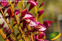 Cytisus praecox \'Hollandia\'