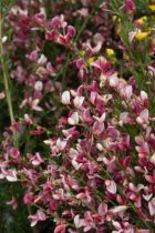 Cytisus praecox \'Hollandia\', arbuste caduc au feuillage vert et aux fleurs rouge pourpré bordé de blanc crème au printemps.