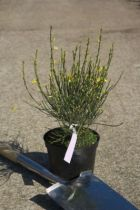 Cytisus x praecox \'All Gold\'