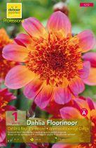 Dahlia \'Floorinoor \' Fleur d\'anémone