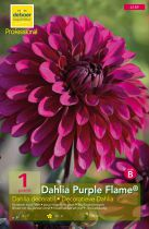 Dahlia \'Purple Flame\'