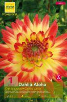 Dahlia cactus \'Aloha\'