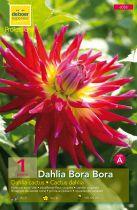 Dahlia Cactus \'Bora Bora\'