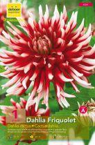Dahlia Cactus \'Friquolet\'