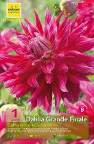 Dahlia Cactus \'Grande finale\'