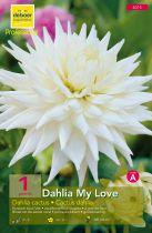 Dahlia cactus \'My love\'