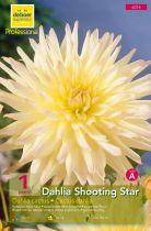 Dahlia cactus \'Shooting Star\'