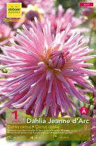 Dahlia cactus Jeanne d\'Arc