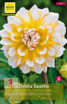 Dahlia déco \'Seattle\'
