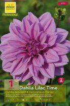 Dahlia décoratif \'Lilac Time\'