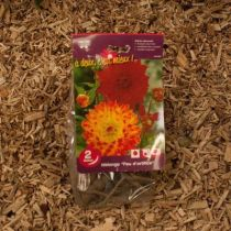 Dahlias \'Feu d\'artifice\'
