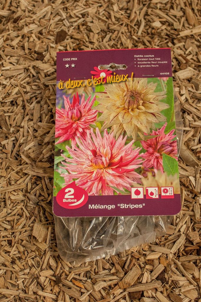 Dahlias \'Stripes\'