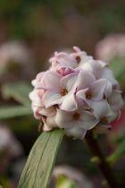 Daphne odora ou bois-joli odorant, arbuste persistant à feuillage vert et à floraison rosée très parfumée en février mars.