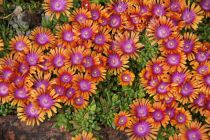 Delosperma \'Sundella Orange\'