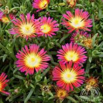 Delosperma \'Wheels of Wonder Hot pink\'