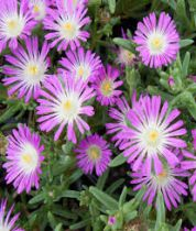 Delosperma \'Wheels of Wonder Violet\'
