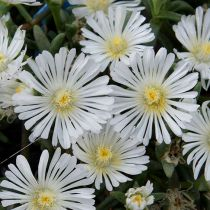 Delosperma \'wheels of Wonder White\'