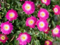 Delosperma jewel of desert \'Amethyst\'