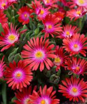 Delosperma jewel of desert \'Garnet\'
