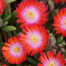 Delosperma jewel of desert \'Grenade\'