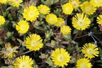 Delosperma jewel of desert \'Peridott\'