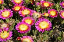 Delosperma jewel of desert \'Rosequarts\'
