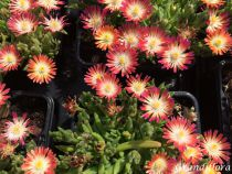 Delosperma jewel of desert \'Ruby\' tuesday