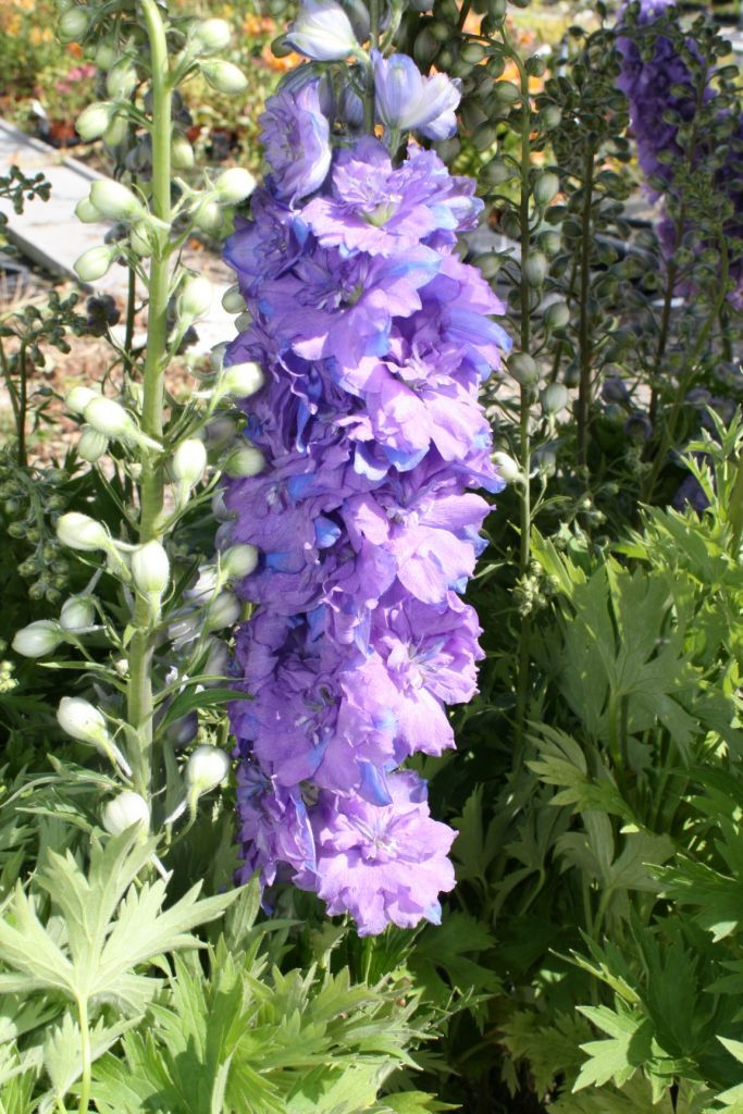 Delphinium \'Blueberry Pie\'