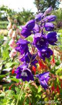 Delphinium magic fountain \'Dark blue Black bee\'