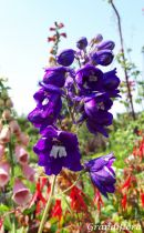 Delphinium magic fountain \'Dark blue Black bee\'
